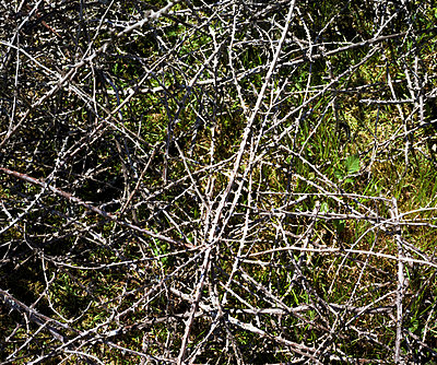 Dornenbusch - p1049m924771 von Camille Hervouet