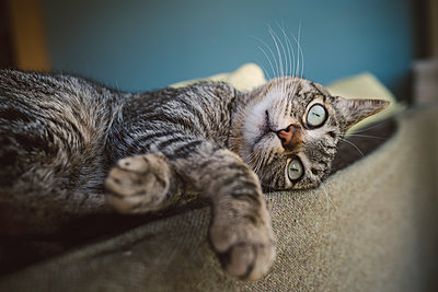 Tabby cat relaxing on backrest of a couch - p300m1153391 by Ramon Espelt
