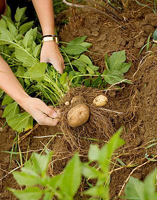 New potatoes Harnosand Sweden - p5280094f by Jenny Gaulitz