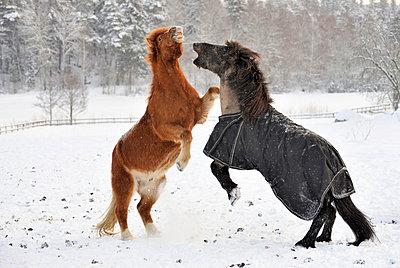 Two Icelandic horse fighting in winter - p575m714895 by Stefan Ortenblad