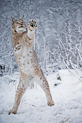 Lynx in snowy landscape - p816m1032272 by Schandy, Tom