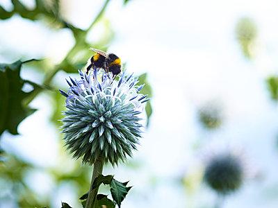 Distel mit Bienen und Hummeln - p897m1556683 von MICK
