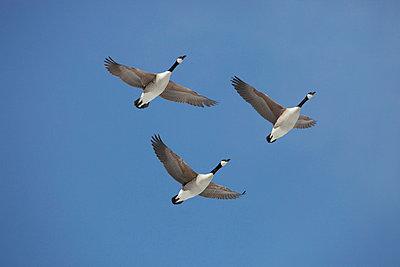 Wild goose - p2351249 by KuS