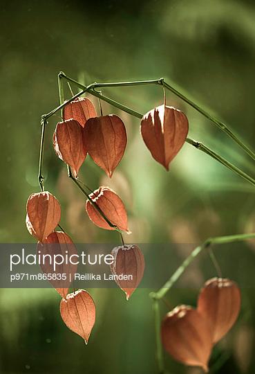 Chinese latern flower - p971m865835 by Reilika Landen