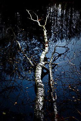 Birke im Moorsee - p550m901832 von Thomas Franz
