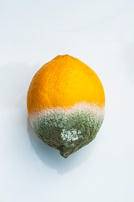 Mouldy lemon on a white background - p1047m1090531 by Sally Mundy