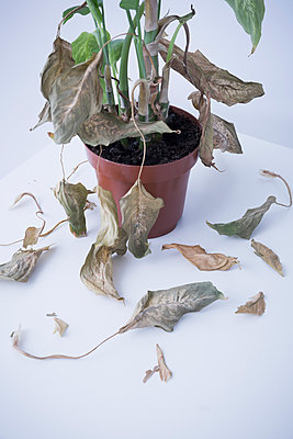 House plant strips of leaves - p1149m1525714 by Yvonne Röder