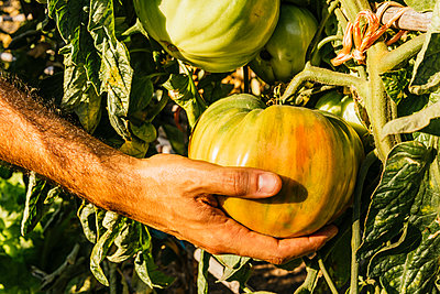 Man picking fresh beefsteak tomatoes from vegetable garden - p300m2290745 by Mar