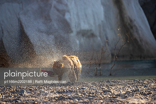 Brown bear(Ursusarctos) fishing for salmon in river, KurileLake, Kamchatka Peninsula, Russia - p1166m2202188 by Raffi Maghdessian