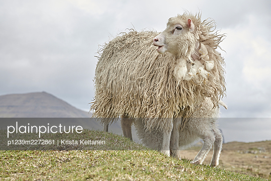 Two sheep out at feed, Faroe Islands - p1239m2272861 by Krista Keltanen