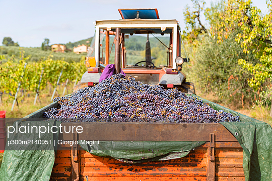 Harvested red grapes on tractor trailer in a vineyard - p300m2140951 by Giorgio Magini