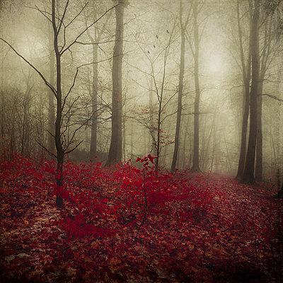 Germany, red autumn leaves in winter forest - p300m1120426f by Dirk Wüstenhagen