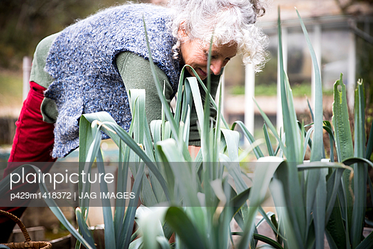 Mature woman tending leeks in garden - p429m1418372 by JAG IMAGES