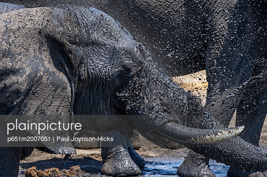 Bull African elephant washing at a waterhole, Serengeti National Park, Tanzania, Africa - p651m2007051 by Paul Joynson-Hicks