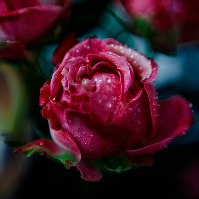 Close up of water droplets on rose - p555m1305191 by Vladimir Serov