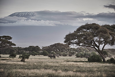 Elephants in the savannah, Kilimanjaro in the background - p706m2158417 by Markus Tollhopf