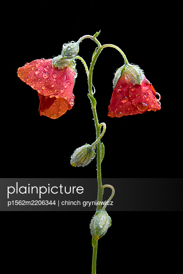 Dewdrops On Flowering Rockrose - p1562m2206344 by chinch gryniewicz