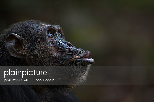 Eastern chimpanzee (Pan troglodytes schweinfurtheii) male 'Faustino' aged 25 years pant hoot calling - portrait . Gombe National Park, Tanzania. September 2014. - p840m2269746 by Fiona Rogers