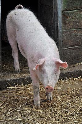 Schweinchen Rosa - p096m815384 von Helga Lorbeer
