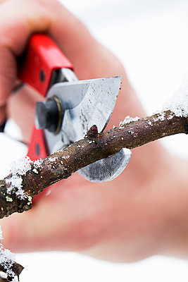 Cutting twig with secateurs - p312m1557191 by Lena Granefelt