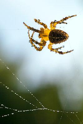 Garden spider - p739m1057782 by Baertels