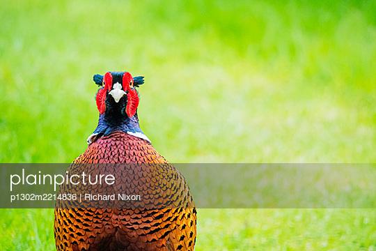 A male ring necked pheasant  - p1302m2214836 by Richard Nixon