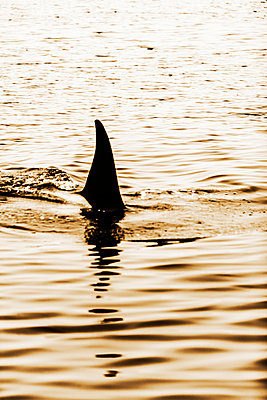 The fin of a killer whale. - p343m1090140 by Ron Koeberer