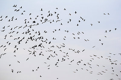 Flock of cranes - p739m949498 by Baertels