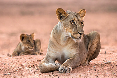 Lioness with cub (Panthera leo) - p871m861605 by Ann & Steve Toon