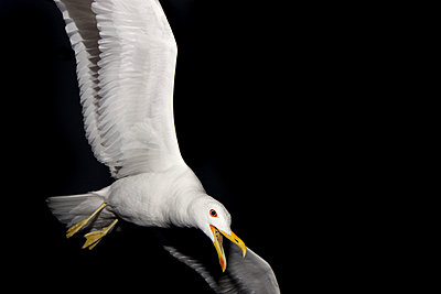 Low angle view of a seagull flying at night, Sweden - p348m733259 by Heinrich Peters