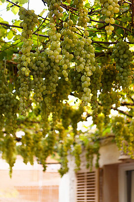 Hanging grapes - p5864366 by Kniel Synnatzschke