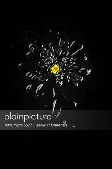 Gerbera painted in black in front of black background - p919m2195677 by Beowulf Sheehan