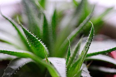 Aloe vera plant - p62319634f by Neville Mountford-Hoare