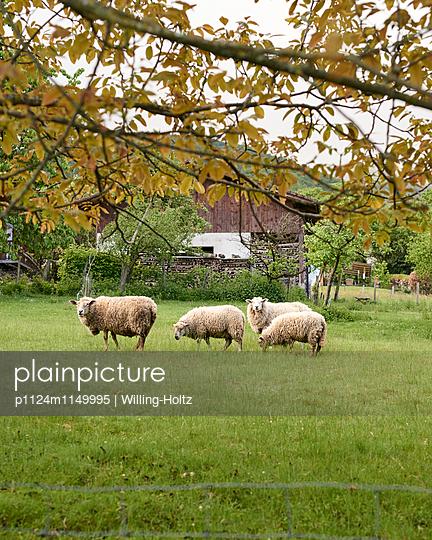 Schafe auf der Weide - p1124m1149995 von Willing-Holtz