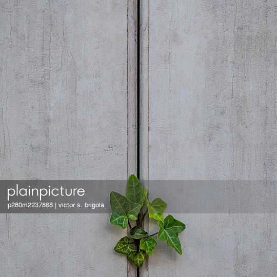 Ivy growing on concrete wall - p280m2237868 by victor s. brigola
