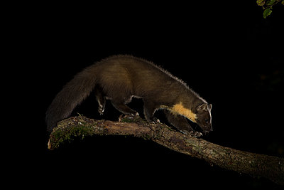 Pine marten, Martes martes, walking on branch at night - p300m2144096 by Mark Johnson