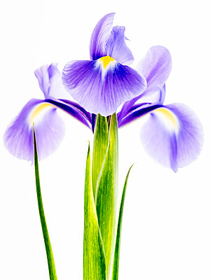Iris - p401m2291094 by Frank Baquet