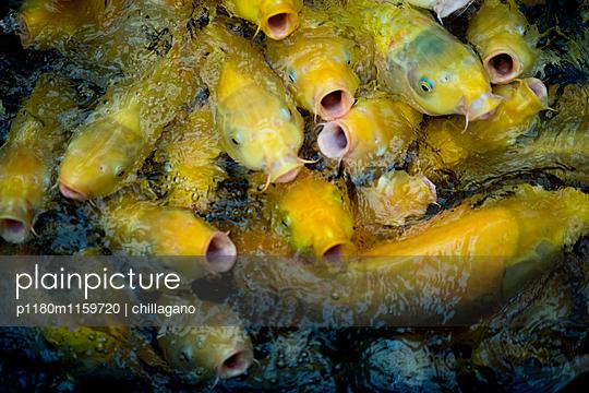 Schwarm hungriger Koi-Fische - p1180m1159720 von chillagano