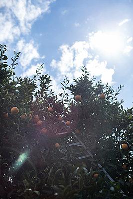 Ladder in orange tree - p1134m1440771 by Pia Grimbühler