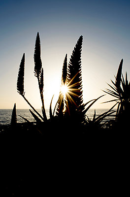 Aloe mit Blüten im Gegenlicht - p451m1110653 von Anja Weber-Decker
