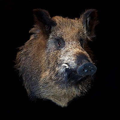 Padded wild boar in studio - p8520016 by Astrid Schulz