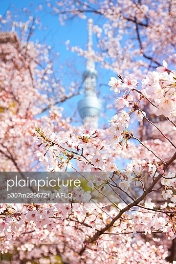 Cherry blossoms - p307m2296721 by AFLO