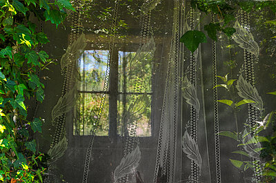 Windows, Lace Curtains and Ivy In Old House - p1072m957381 by chinch gryniewicz
