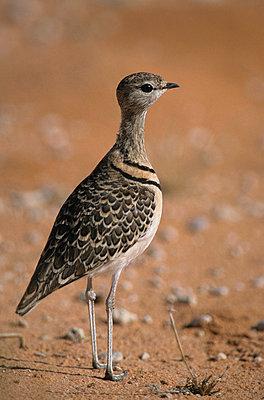 Kgalagadi Nationalpark Afrika  - p3300412 von Harald Braun