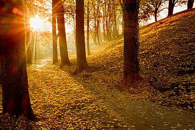 Autumn forest against the sun - p676m1525954 by Rupert Warren