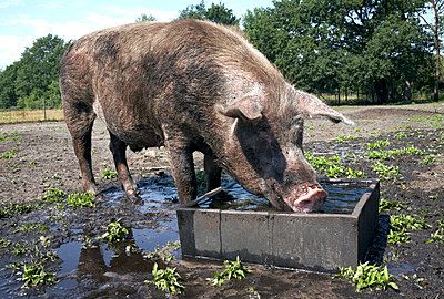Pig drinking water - p4060450 by clack