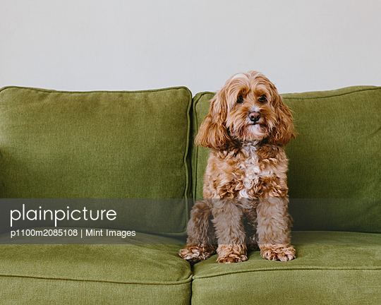 A cockapoo mixed breed dog, a cocker spaniel poodle cross, a family pet with brown curly coat sitting on a chair - p1100m2085108 by Mint Images