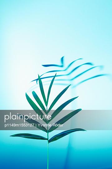 Palm frond, Chamaedorea elegans - p1149m1553127 by Yvonne Röder