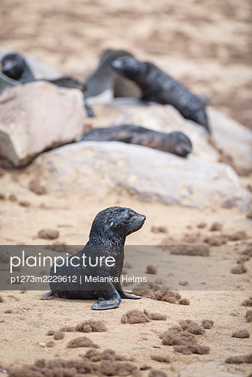 Africa, Namibia, Seals - p1273m2229612 by Melanka Helms