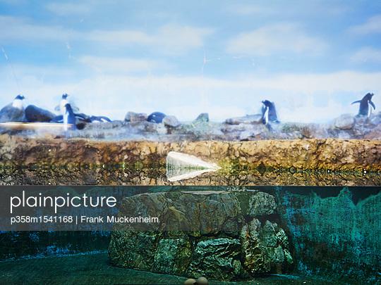 Pinguine hinter Glas - p358m1541168 von Frank Muckenheim